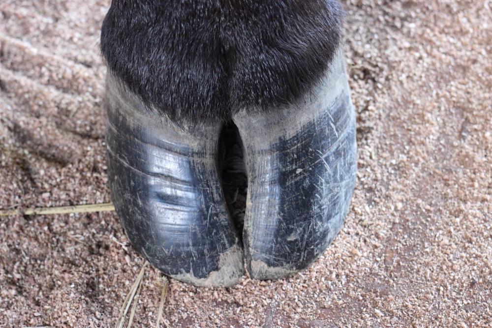 牛の蹄は開くのが自然なの? | 田中畜産